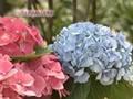 Multiplicación de hortensias por esquejes